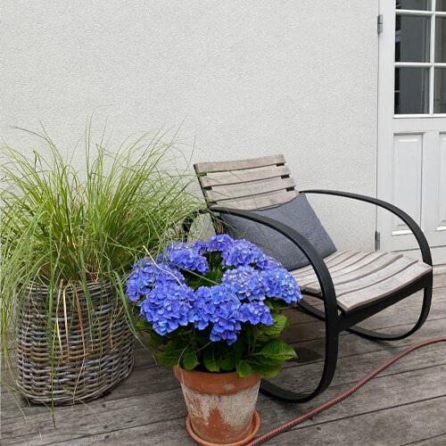 Blaa Hortensia ved siden af en stol