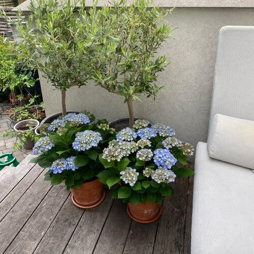 Blaa Hortensia paa en terrasse