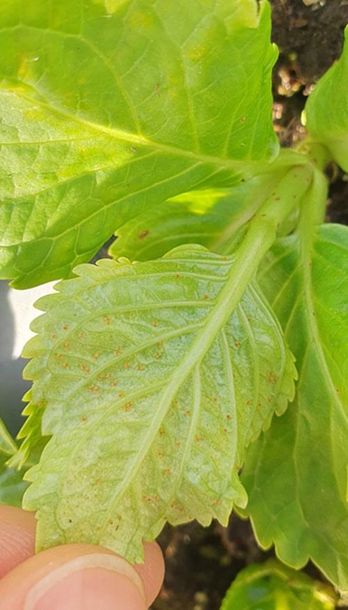 Spindemide paa blad