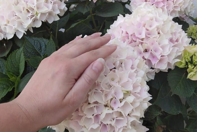 Lys pink Hortensia og en Haand