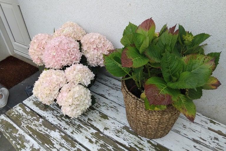 Lys pink Hortensia ved siden af en Hortensia kun med blade