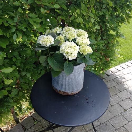 Hvid Hortensia paa sort bord
